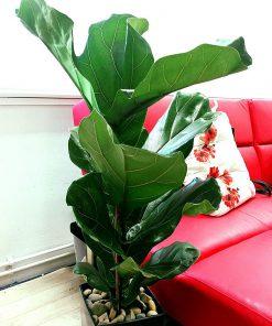 cây cảnh giả, cây bàng xuất sứ singapore